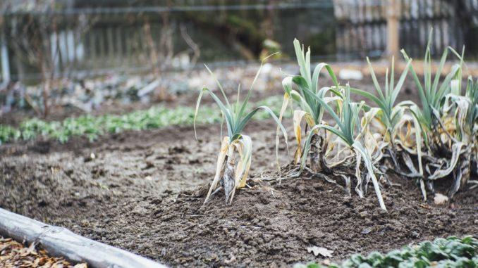 Jardinage urbain - légumes du potager, Bayreuth, Bavière, Allemagne.