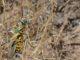 Invasion de criquets : l'ONU demande une aide d'urgence pour la Corne de l'Afrique