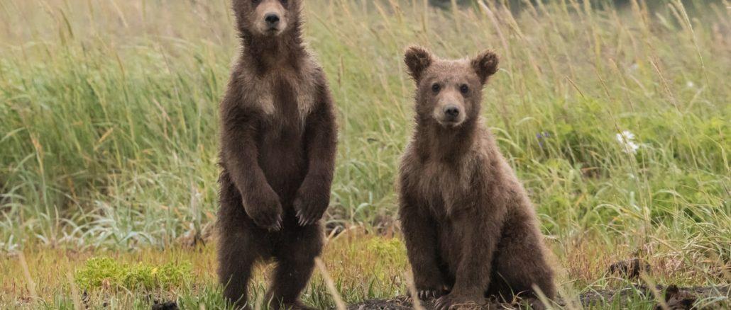 De jeunes ours dans la nature.