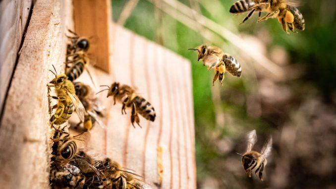 Des abeilles s'affairant dans une ruche.