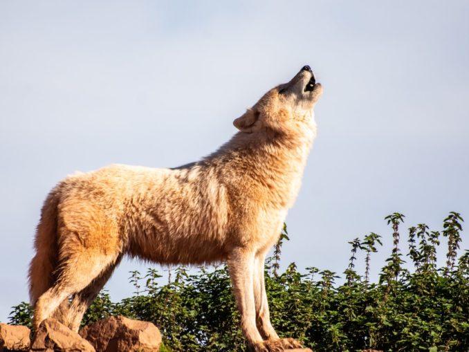 Un loup en train d'hurler.